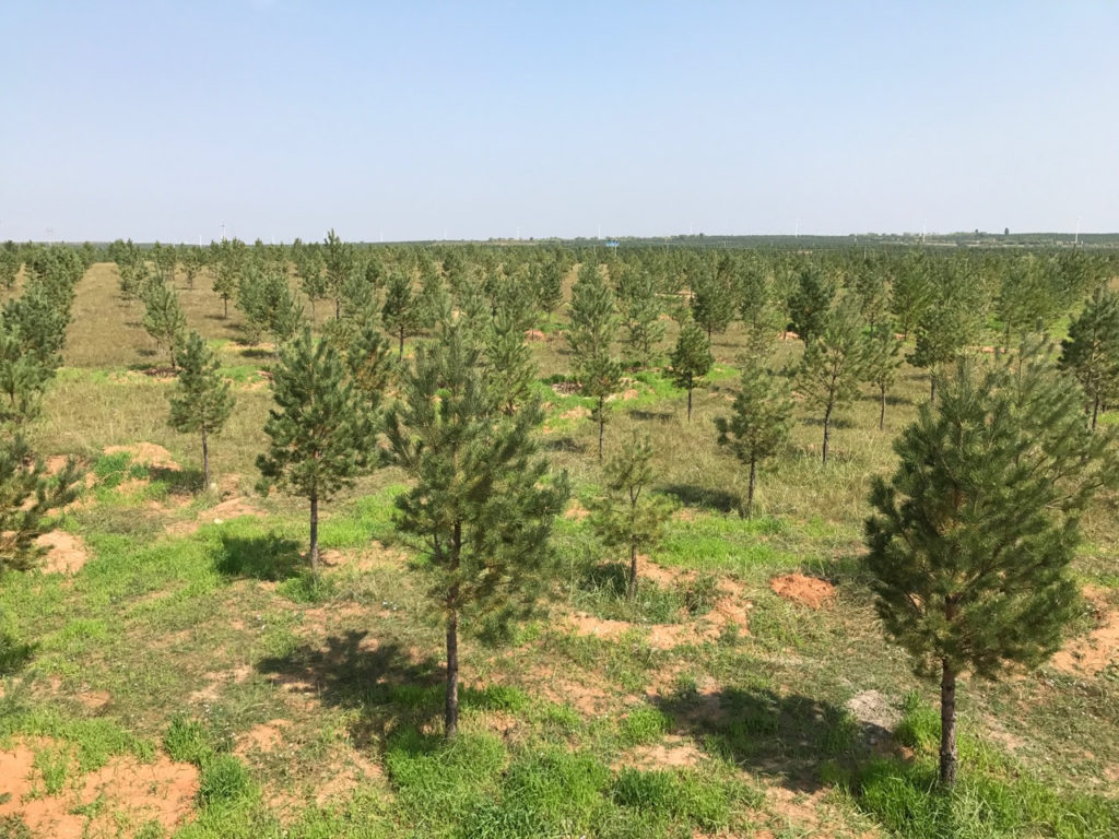 Pines planted on rangeland in the Gengis Khan National Park